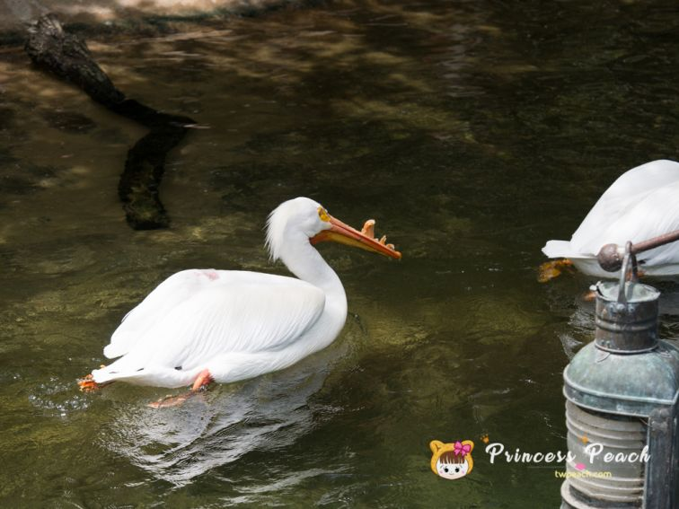 Fort Worth Zoo White Pelican 白鵜鶘