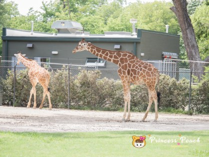 Fort Worth Zoo Girraffes 長頸鹿