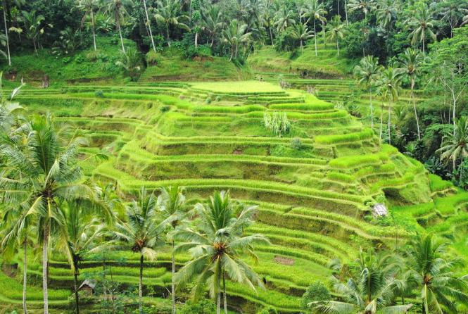 bali-honeymoon_tegallalang-rice-terraces