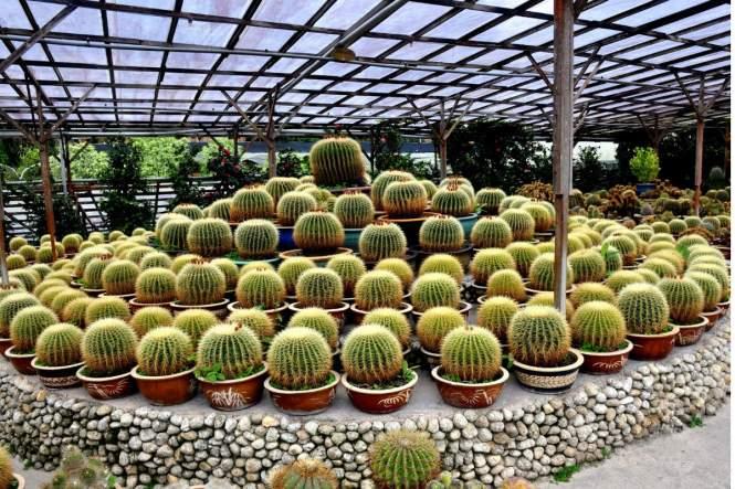 Cactus Valley 1 - Mr Kumai