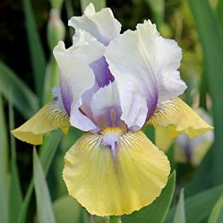 Iris Type