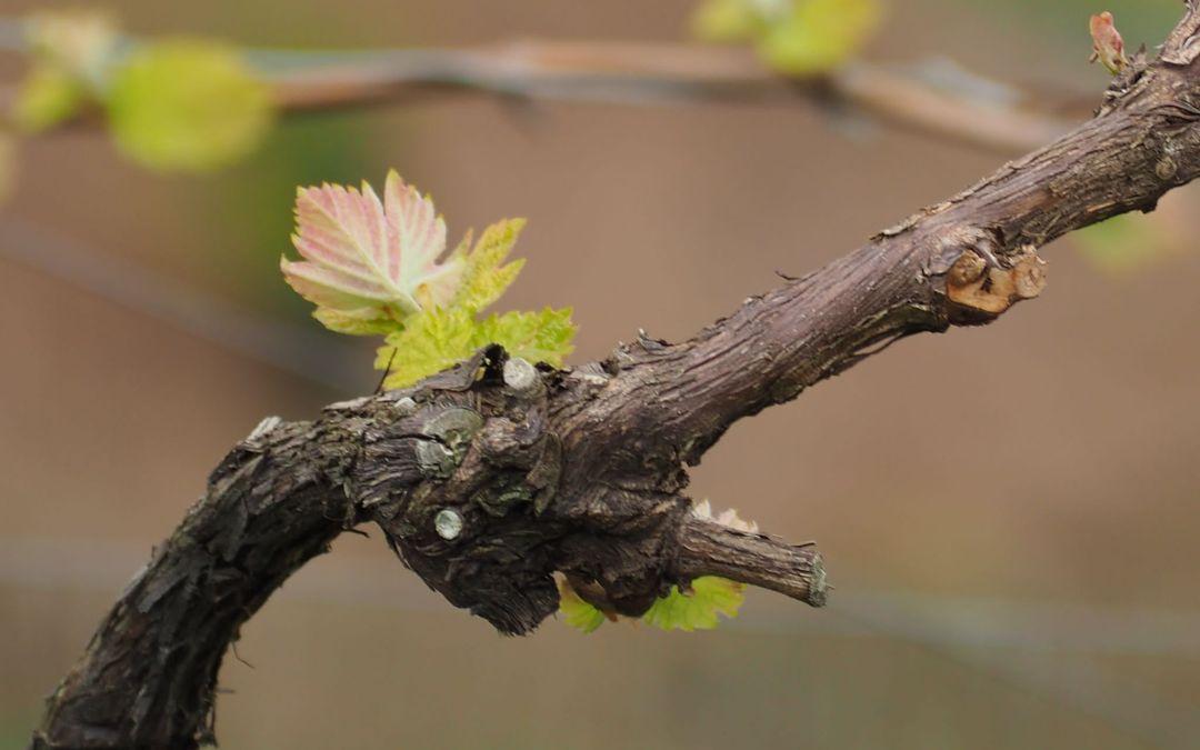 Los Brotes comienzan a crecer en los viñedos de Rezabal