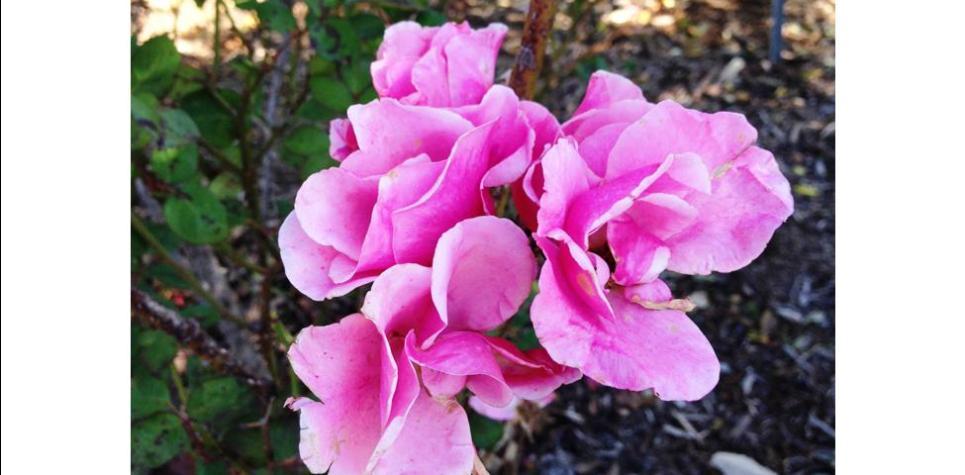 Else Poulsen – Earth Kind Rose