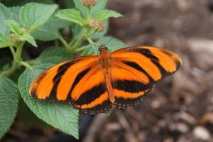 Banded-Orange-Heliconian-Dryadula-phaetusa-Copy
