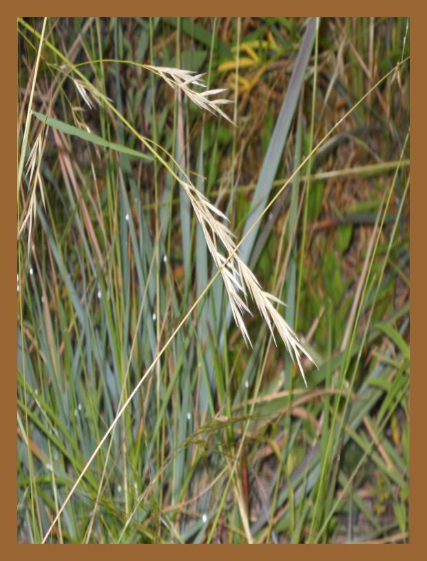 Area Grasses Alamo Area Chapter
