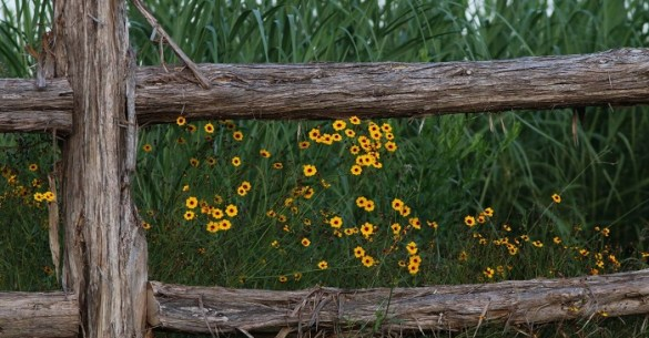 coreopsis and fence at SCNP Prairie-6-2016-3-Roger Hathorn