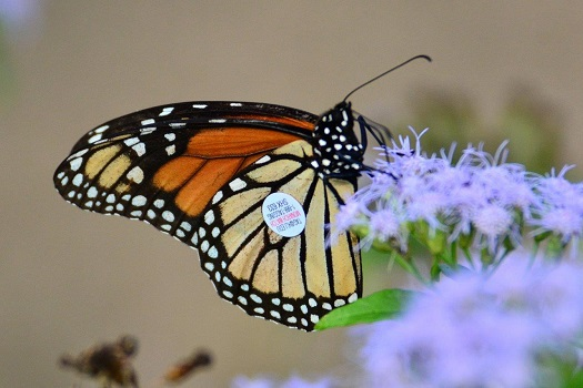 KU Tagged Monarch-WPooman