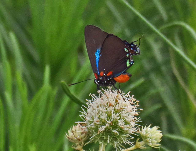 Purple hairstreak on rattlesnake master