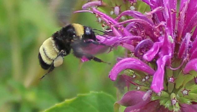 bumblebee on bergamot beebalm