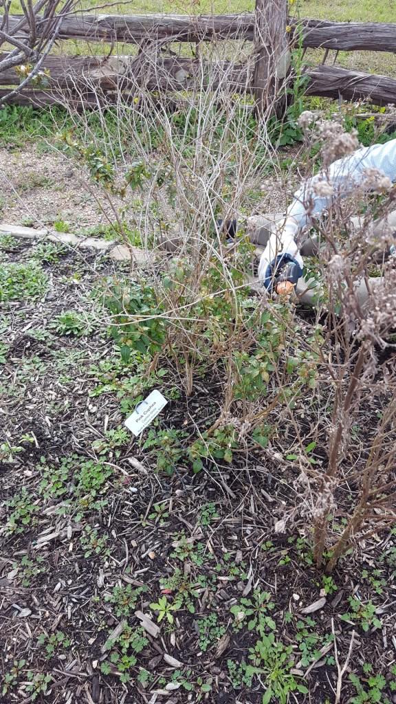 Pruning Cuphea Seabourne Butterfly Garden Feb 2019
