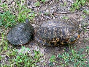 Red-Eared Slider Turtles by TXMNBert Stipelcovich
