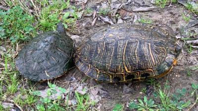 Red-Eared Slider Turtles by TXMNBert Stipelcovich