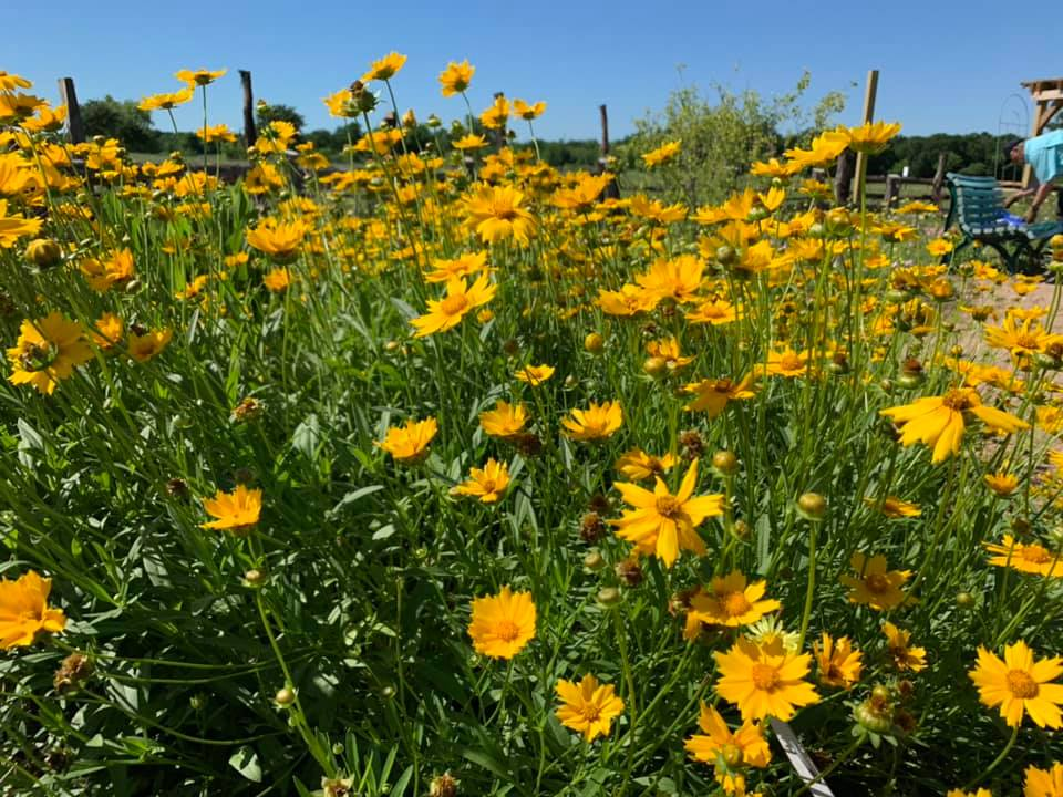 Coreopsis in the SCNP Butterfly Garden