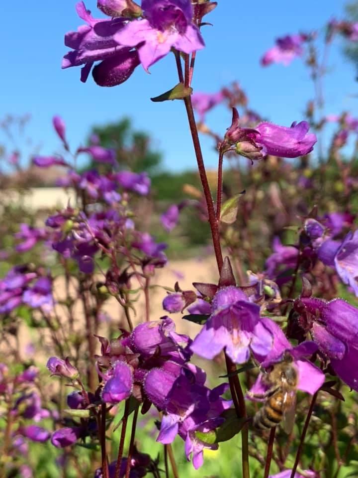 Gulf Coast Penstemon-SCNP Butterfly Garden-JStiplecovich