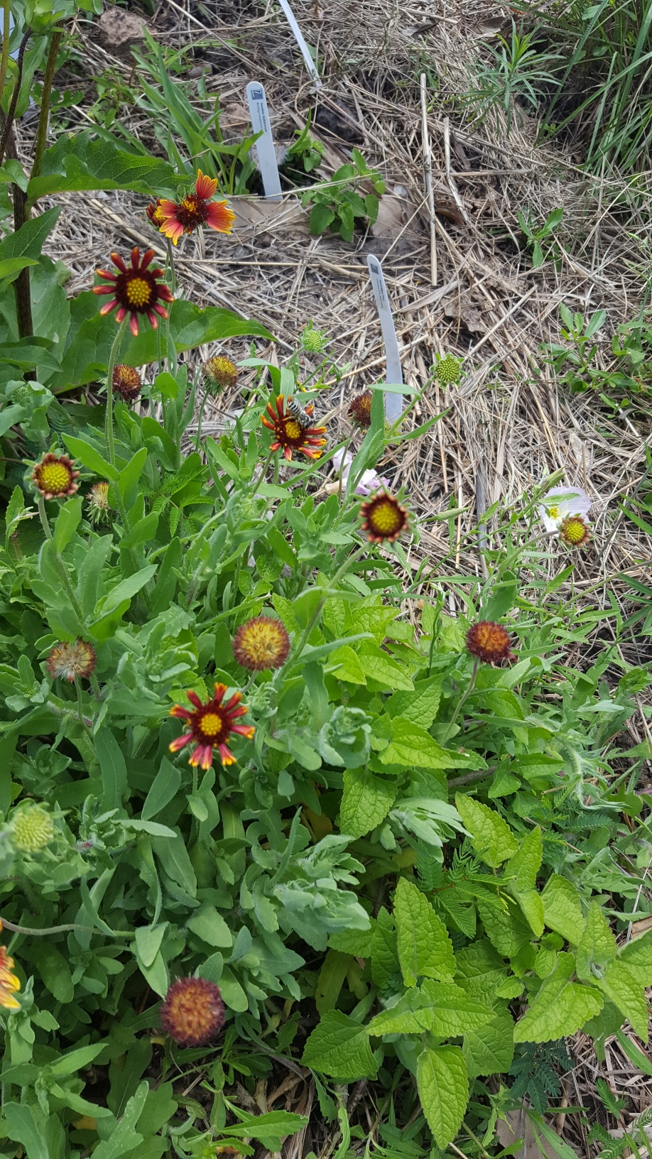 Seabourne Nature Park Prairie Garden Gallardia Basket Flower on Earth Day 2019 by TMN Kimberly Farou (1)