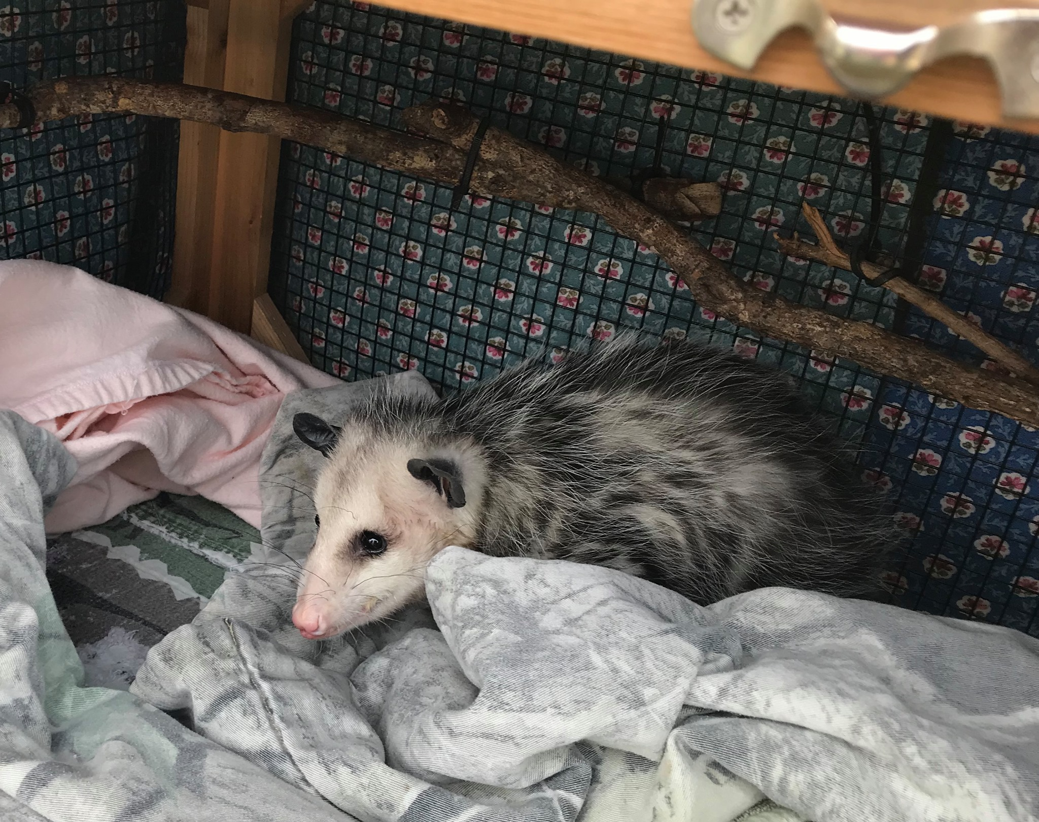 Photo showing a cute opossum.