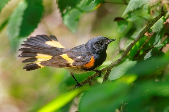 American redstart by Greg Lavaty