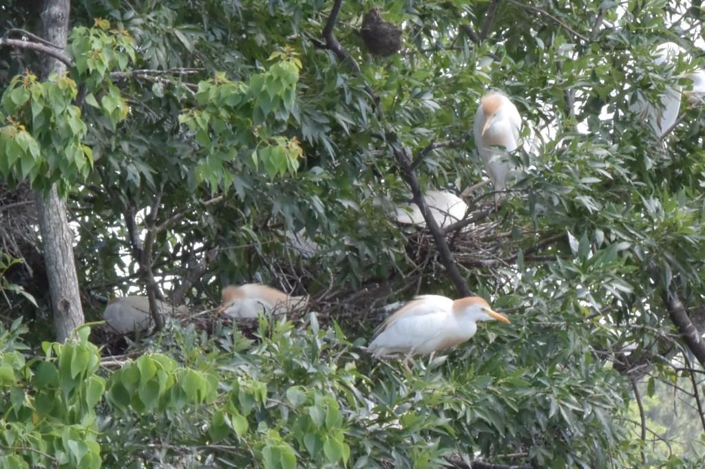 Nesting cattle egrets at John Hargrove Environmental Complex