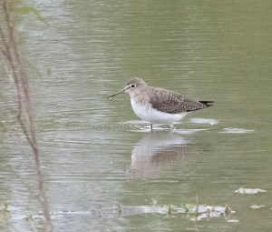 Solitary sandpiper at Seabourne Creek Nature Park on Oct. 25, 2020