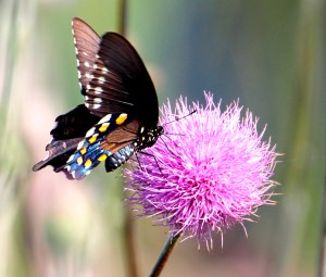 Pipevine Swallowtail on thistle at San Bernard NWR