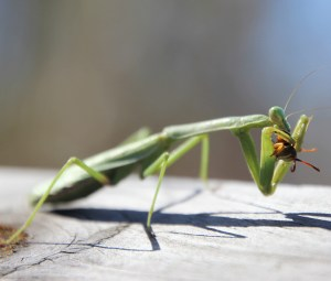 Praying mantis at Anahuac NWR