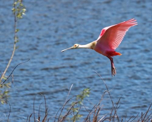 Spoonbill at High Island