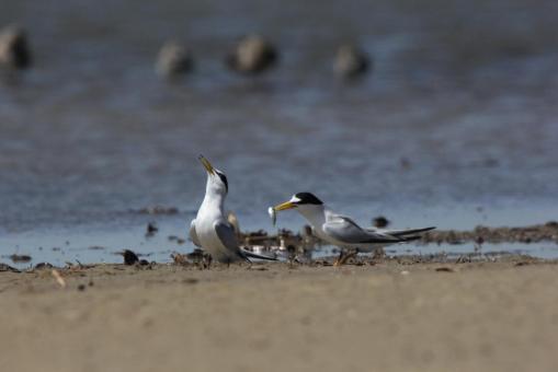 Least Tern pair