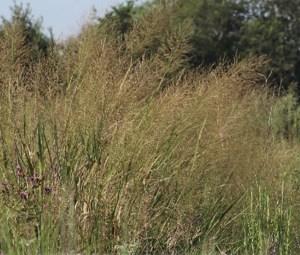 switchgrass at Seabourne Creek Nature Park