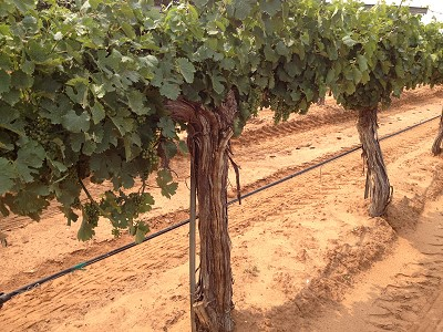 30 year old Chenin Blanc vines at Pheasant Ridge