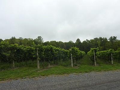 Red Tail Ridge - vineyard