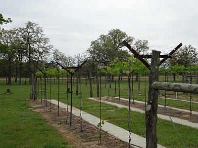 Whistling Duck Winery - vineyard