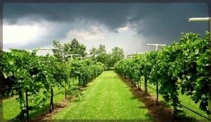 Haak Winery vineyard