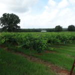 Mason ISD is Leading the way in Teaching Viticulture