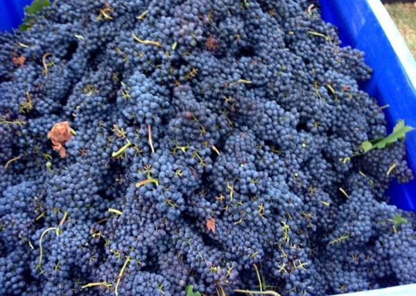 Grapes in Harvest Bin