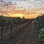 Volunteering at a Grape Harvest – Perissos