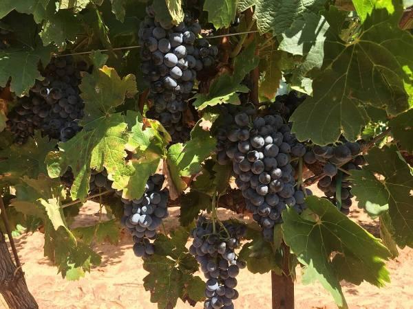 Buena Suerte Vineyards grapes