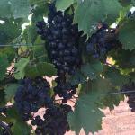 High Plains Vineyard Visits during Harvest