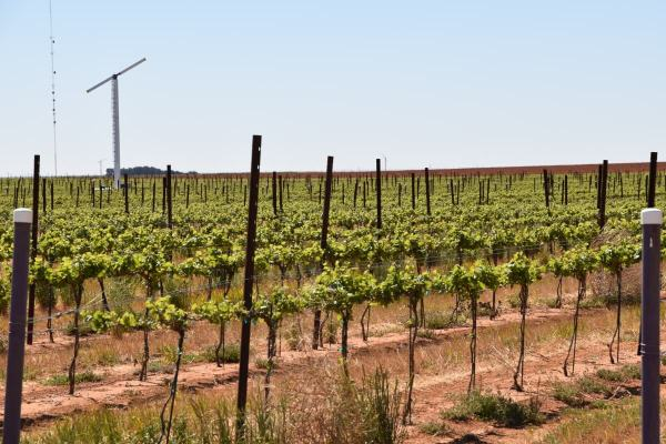 High Plains grapes with windmill