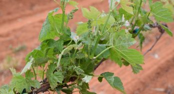 early grape vines