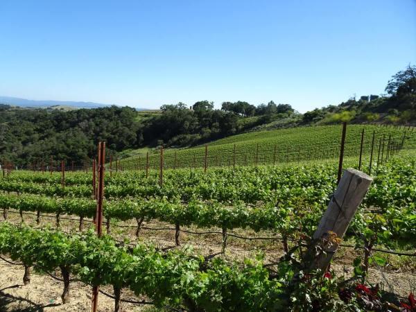 DAOU low vines