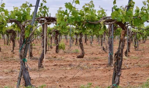Pheasant Ridge Vineyard old vines
