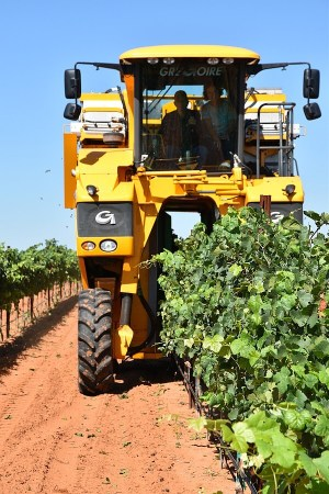 Harvesting at Alta Loma Vineyard