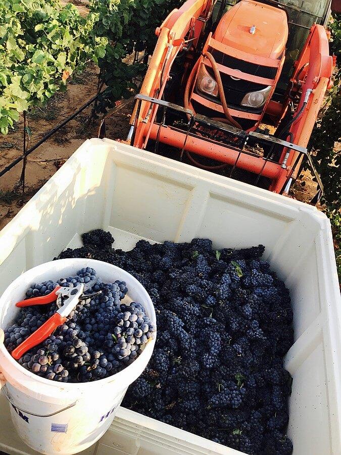 Harvesting at Farmhouse Vineyards