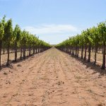 How Many Grape Acres are there in Texas?