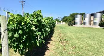 4.0 Vineyard Tucked and Hedged Row