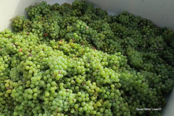 Wild Stallion Blanc du Bois grapes