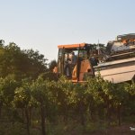 Texas High Plains Grape Harvest Going Strong