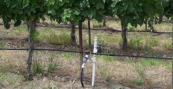 Above ground drip irrigation tubes provide the necessary water to grow grapes on the Texas High Plains