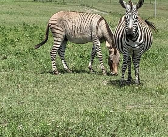 Zebronkey and Zebra - Shane Roye credit