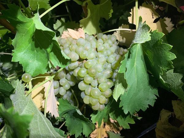 Spicewood Vineyards estate Sauvignon Blanc